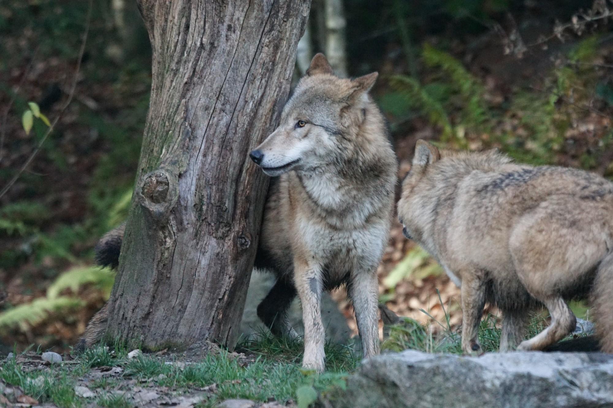 Lobos de Mongolia